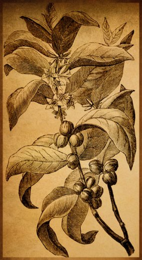 coffee-plant-illustration3